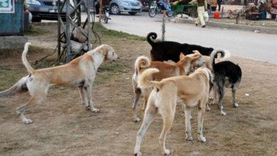 Photo of جہلم میں آوارہ کتوں کا راج، شہریوں کو کاٹنے کی وارداتیں، میونسپل کارپوریشن کا عملہ خاموش