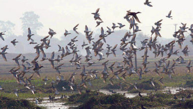Photo of سائبیریا سے برفباری کیوجہ سے نقل مکانی کرکے آنیوالے پرندوں نے دریا کنارے عارضی پڑاؤ ڈال لئے